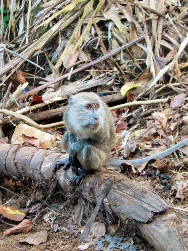 "A ""guardian"" monkey expecting food from trekkers"